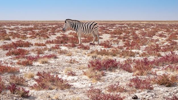 Zebra nel parco nazionale di etosha in namibia.