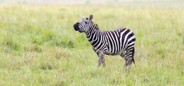 La famiglia zebra pascola nella savana in prossimità di altri animali