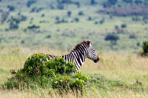 Una famiglia zebra pascola nella savana in prossimità di altri animali