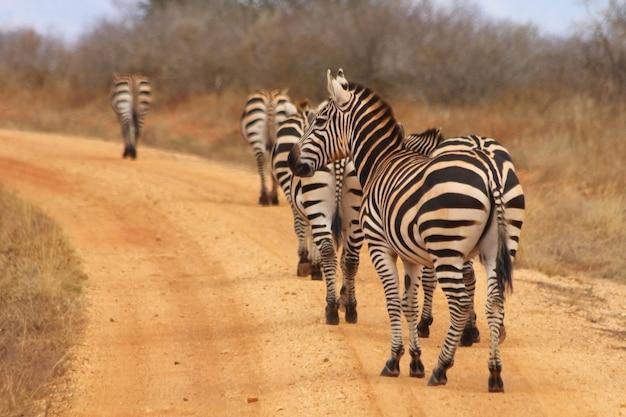 Zebra in un campo di erbe alte contro un cielo blu tempestoso. immagine presa nel maasai mara, in kenya.