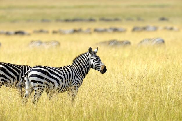 Zebra sui pascoli in africa