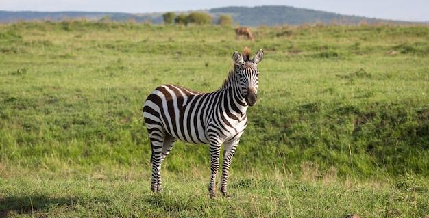 Una zebra nel verde paesaggio di un parco nazionale del kenya