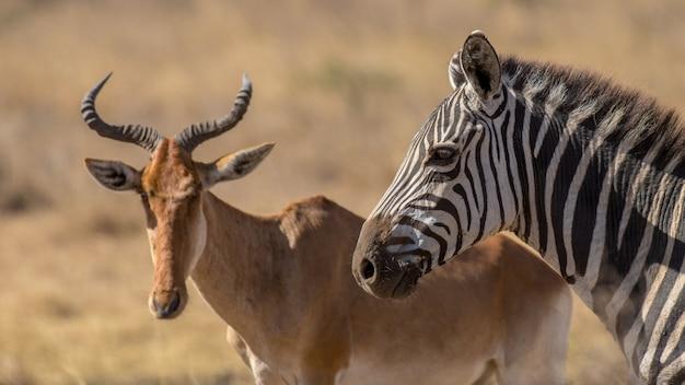 Mandria di zebre, africa
