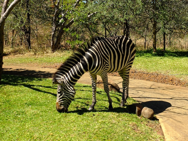 Zebra in hotel, victoria falls, zambia