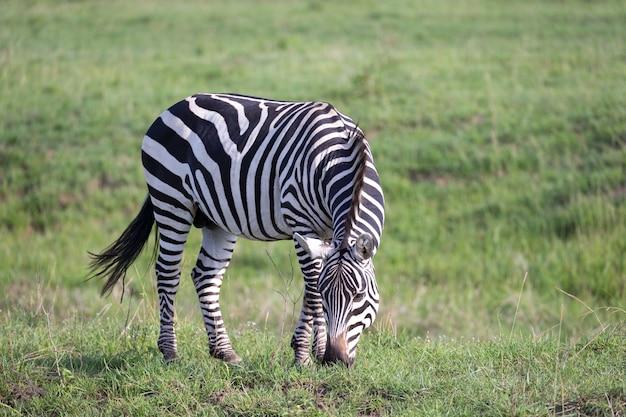 Una zebra pascola nel verde paesaggio di una savana