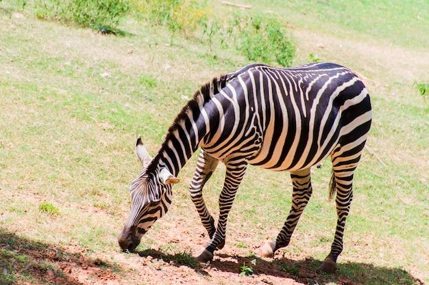 Una zebra è in piedi e pascola per terra.
