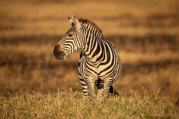 Zebra al sole del mattino