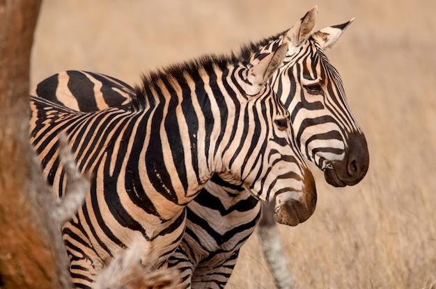 Ritratto di zebra parco nazionale occidentale di tsavo kenya africa