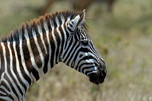 Zebra è in africa che cammina nella savana