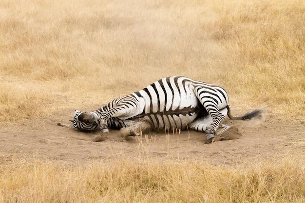 Zebra che sta rotolando a terra. cratere di ngorongoro, tanzania. fauna africana