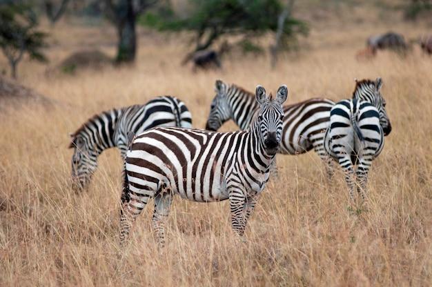 Fauna selvatica della zebra in kenya
