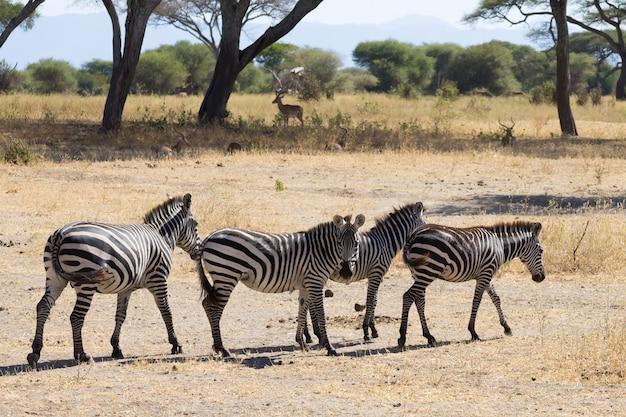 Zebre vicino, parco nazionale di tarangire, tanzania africa. safari africano.