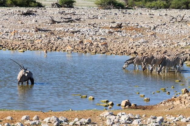 Zebre che bevono a okaukuejo waterhole dal parco nazionale di etosha, namibia