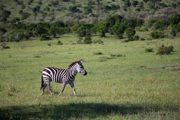 Zebre nel mezzo della savana del kenya