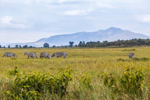 Zebre nel parco nazionale di naivasha hell's gate pieno di animali. kenya walking o bike safari