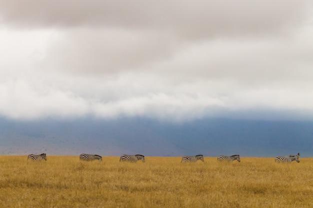 Zebre in fila sul cratere di ngorongoro conservation area, tanzania. fauna africana