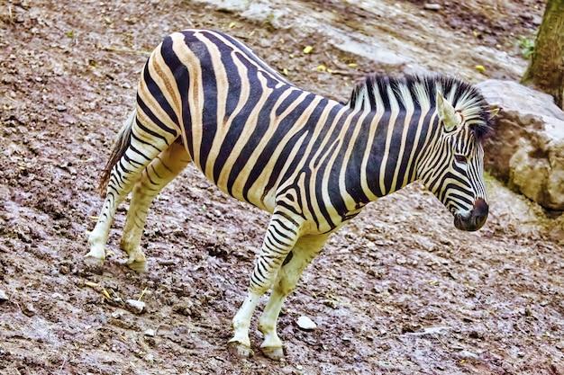 Zebre nel loro habitat naturale. foresta nazionale.