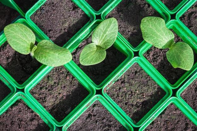 Piantine di zucchine in contenitori di plastica verde germinazione di semi di ortaggi