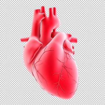 Illustrazione anatomica del cuore umano
