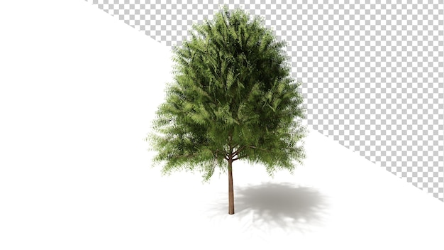 Australian willow tree con albero isolato 3d render