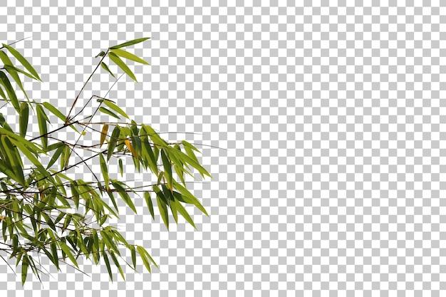 Foglie di bambù e primo piano del ramo isolato