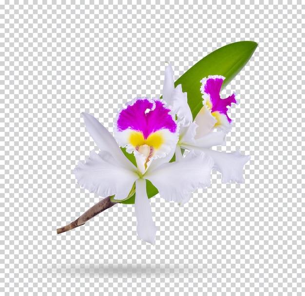 Ibridi di orchidee cattleya su sfondo bianco