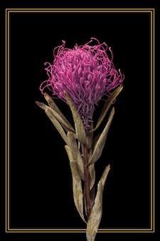 Cornice dorata con un fiore di protea essiccato a puntaspilli su sfondo nero
