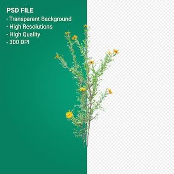 Rendering 3d di haplopappus rigidus isolato su sfondo trasparente