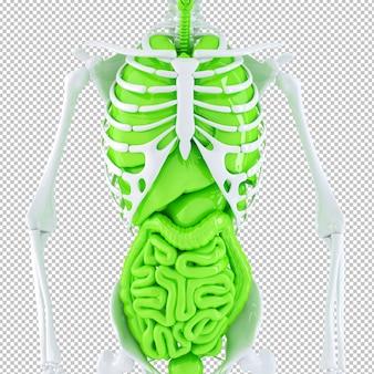 Scheletro umano e organi interni isolati