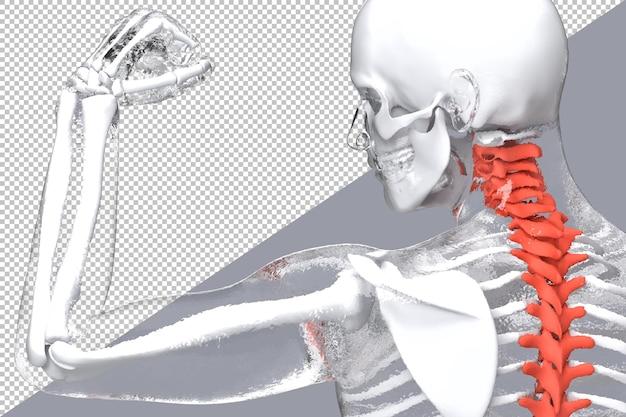 Scheletro umano con colonna vertebrale evidenziata nel rendering 3d isolato