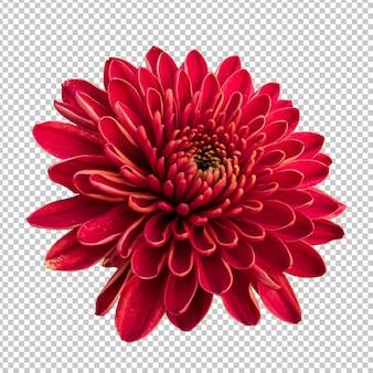 Maroon crisantemo fiore isolato rendering