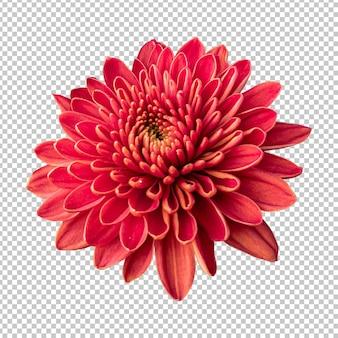 Rappresentazione isolata del fiore del crisantemo marrone rossiccio