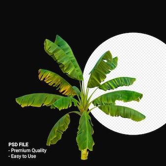 Musa paradisica o pianta di banana 3d rendering isolato