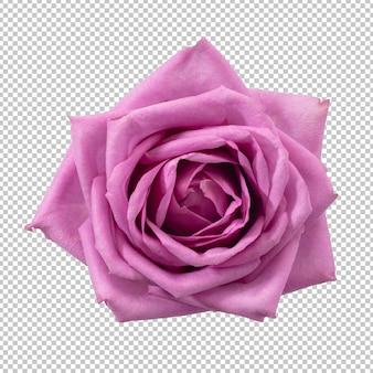 Fiore di rosa viola isolato