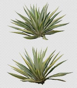 Insieme realistico di furcraea dell'agave isolato