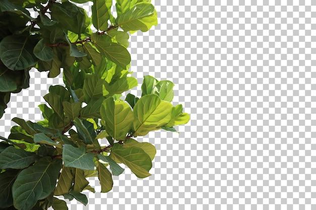 Primo piano realistico dell'albero del ficus lyrata isolato