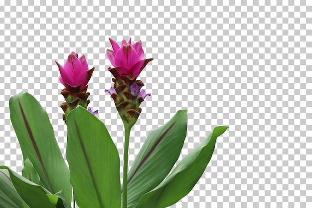 Primo piano realistico del fiore dello zenzero isolato
