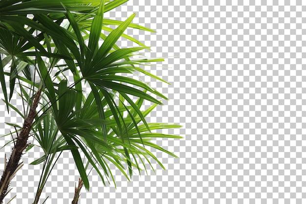 Primo piano realistico della palma della signora isolato