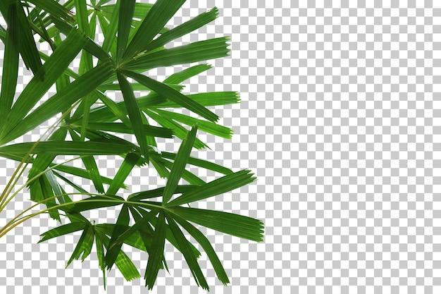 Primo piano realistico della palma del ventilatore della mangrovia isolato