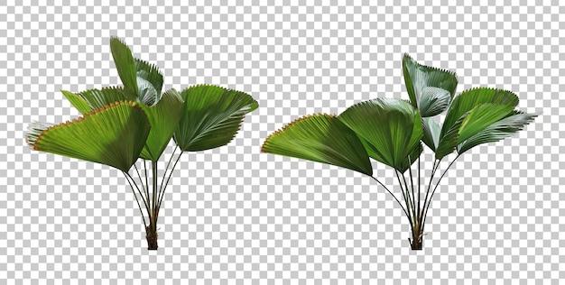 Insieme realistico della palma del ventilatore di vanuatu isolato