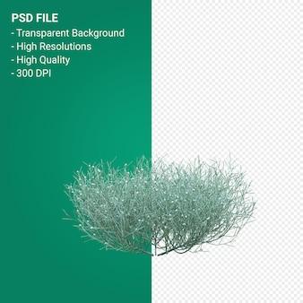 Santolina chamaecyparissus 3d render isolato su sfondo trasparente