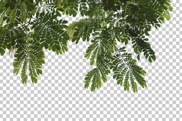 Foglie di albero tropicale e ramo in primo piano isolato