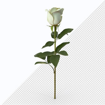 San valentino rosa bianca isolata