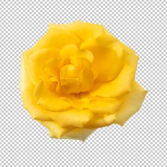 Fiore di rosa giallo isolato