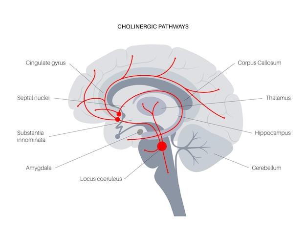 Via degli ormoni dell'acetilcolina nel cervello umano. neuromodulatore e neurotrasmettitore