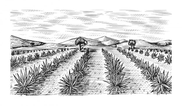 Campo di agave. paesaggio retrò vintage. raccolta per la produzione di tequila. schizzo disegnato a mano inciso. stile xilografia. illustrazione per menu o poster.