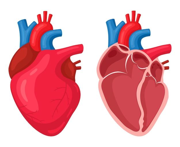 L'essere umano muscolare anatomico pompa l'organo del sangue Vettore Premium
