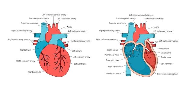 Cuore anatomicamente corretto con descrizioni anatomia hueart con sezione trasversale e vista non incrociata