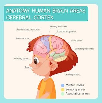 Anatomia del cervello umano aree corteccia cerebrale con etichetta