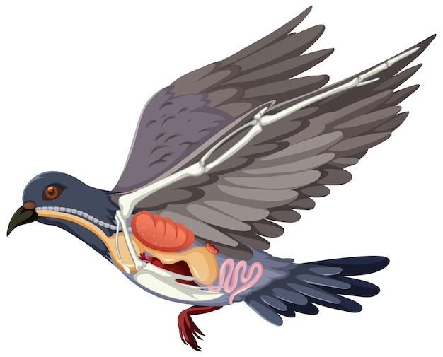 Anatomia dell'uccello piccione isolato su sfondo bianco